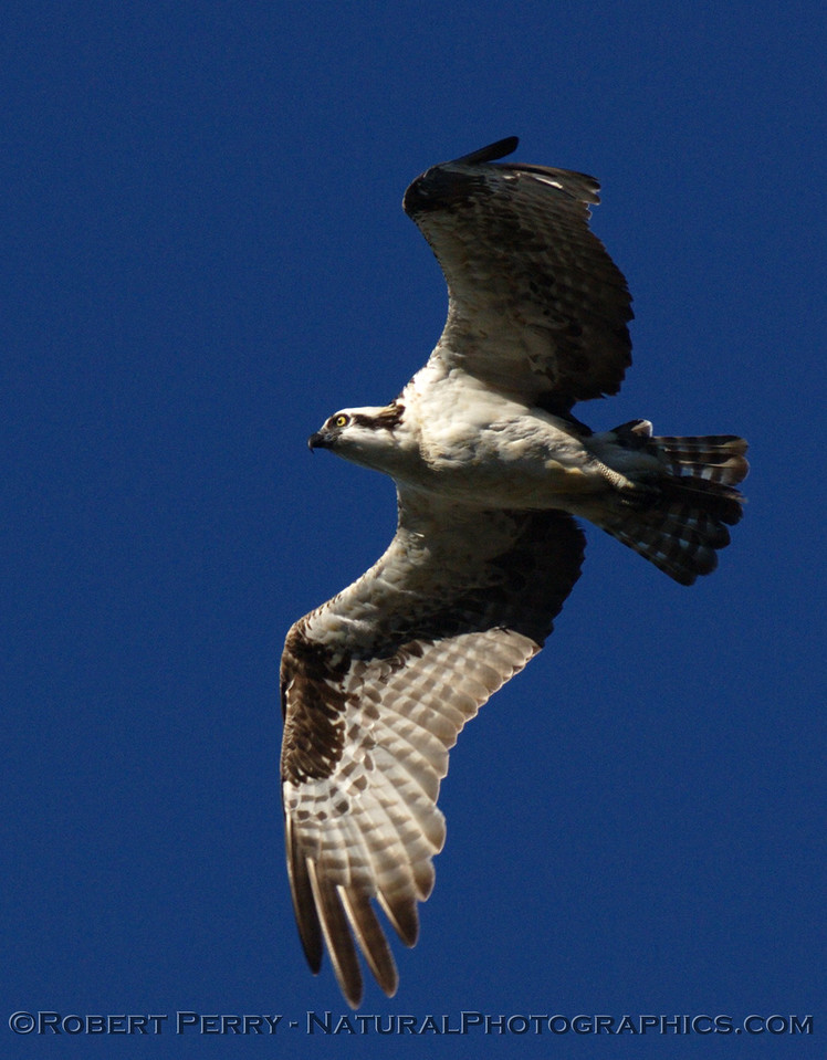 "A series of NorCal Ospreys (Pandion haliaetus) from the Mendocino area.  Click on the ""Map This"" button on the top right and see the location."