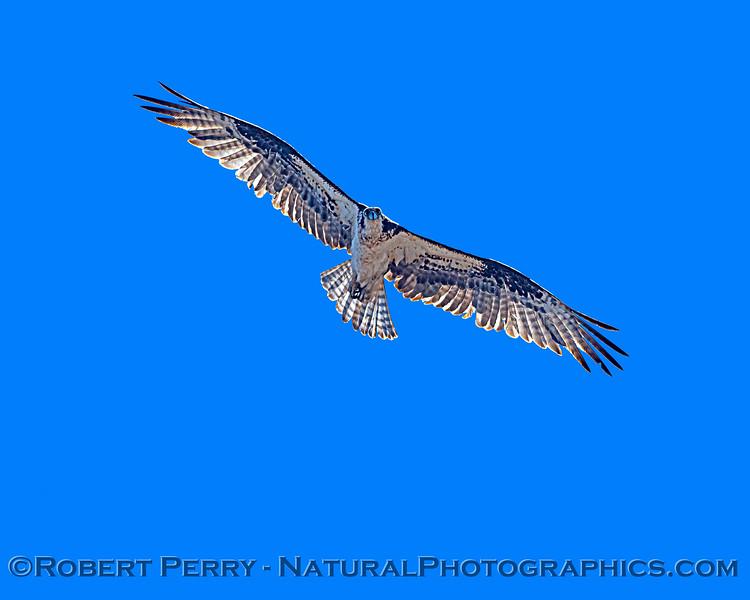 Pandion haliaetus 2021 05-28 Black Butte Lake--167