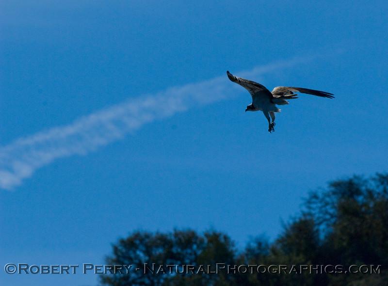 A Lake Cachuma Osprey (Pandion haliaetus) takes flight.
