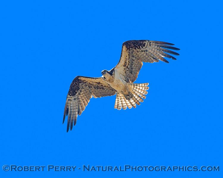 Pandion haliaetus 2021 05-28 Black Butte Lake--268