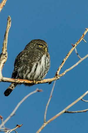 Pigmy Owl-192