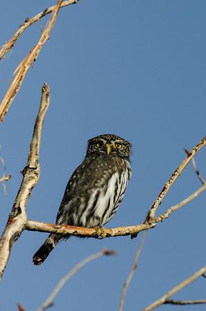 Pigmy Owl-231