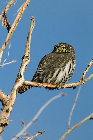 Pigmy Owl-125