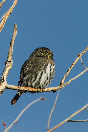 Pigmy Owl-245