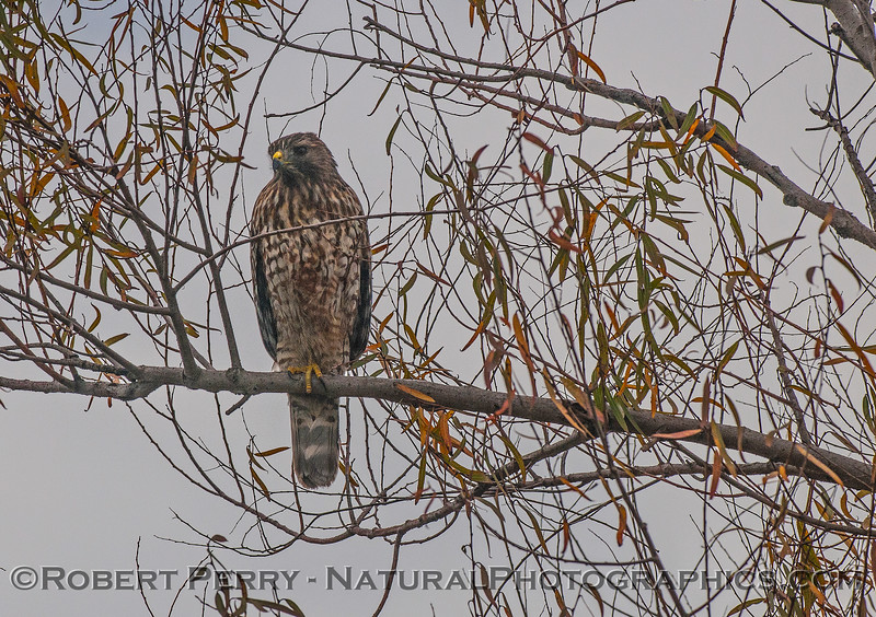 Buteo lineatus red-shouldered hawk perched in tree 2016 10-31 Yolo Bypass - 001