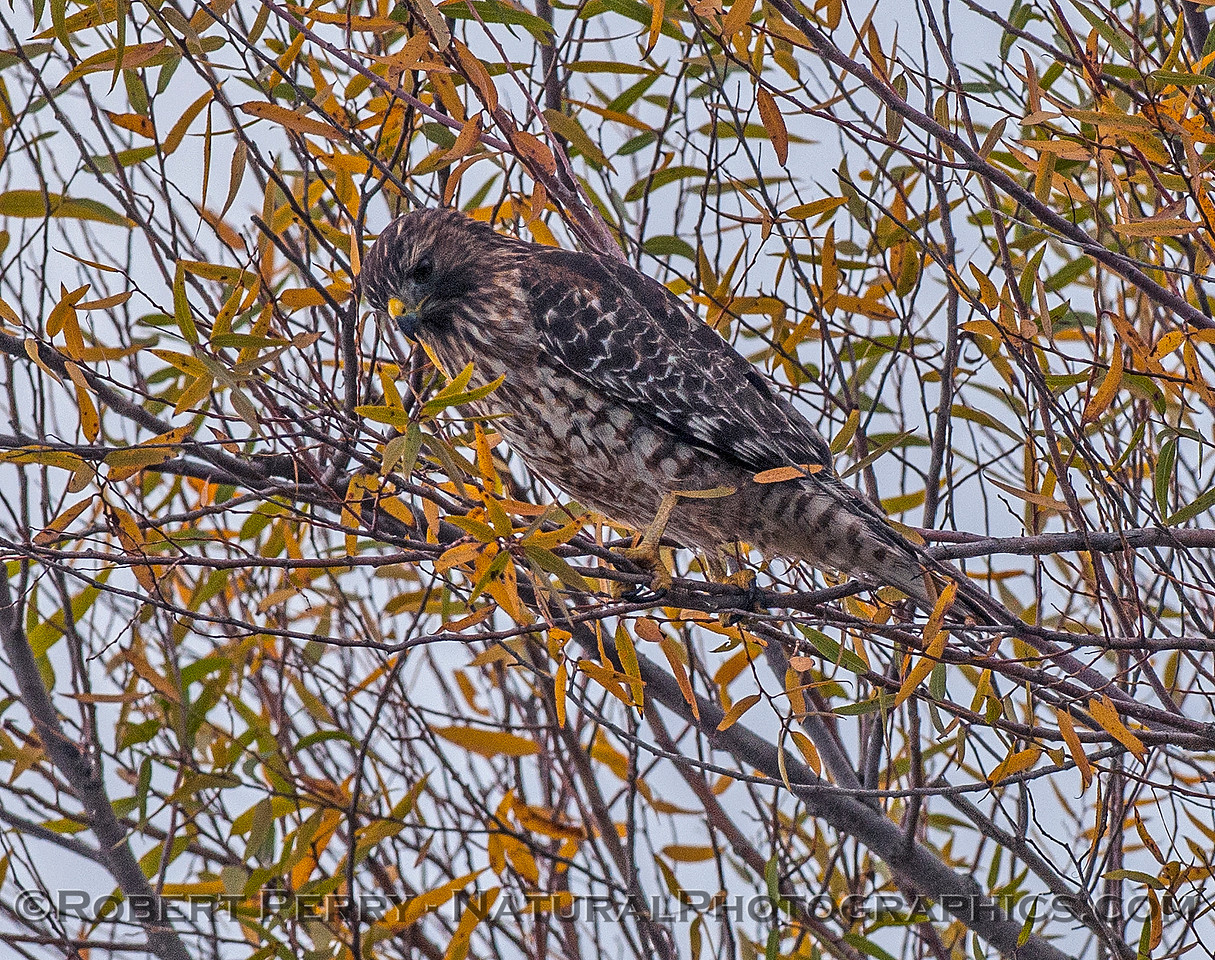 Buteo lineatus red-shouldered hawk perched in tree 2016 10-31 Yolo Bypass - 002