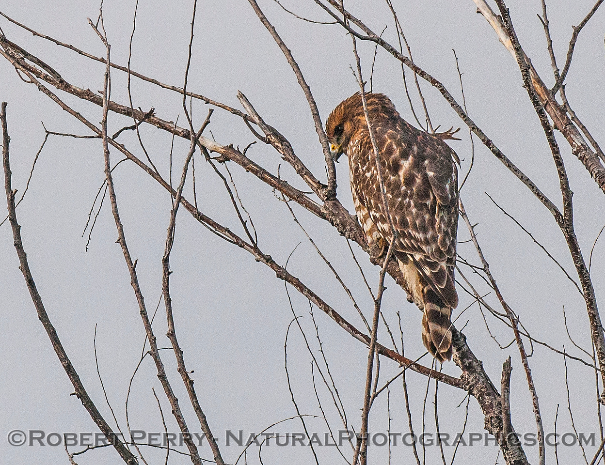 1-Buteo lineatus JUV red-shouldered in tree 2017 01-06 -Sacramento NWR - 013