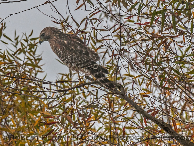 Buteo lineatus red-shouldered hawk perched in tree 2016 10-31 Yolo Bypass - 003