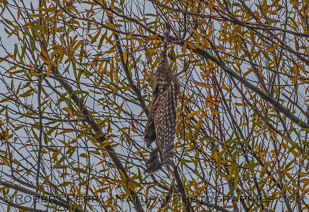 Buteo lineatus red-shouldered hawk vertical take-off n tree 2016 10-31 Yolo Bypass -b- 016