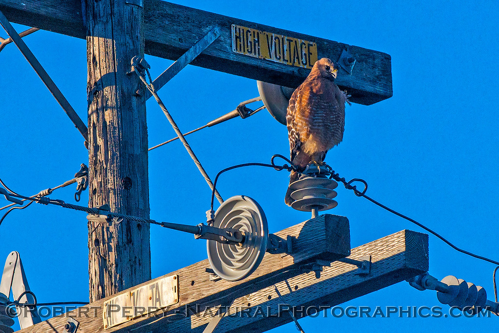 Buteo lineatus on telephone pole 2017 12-10 Yolo ByPass-009