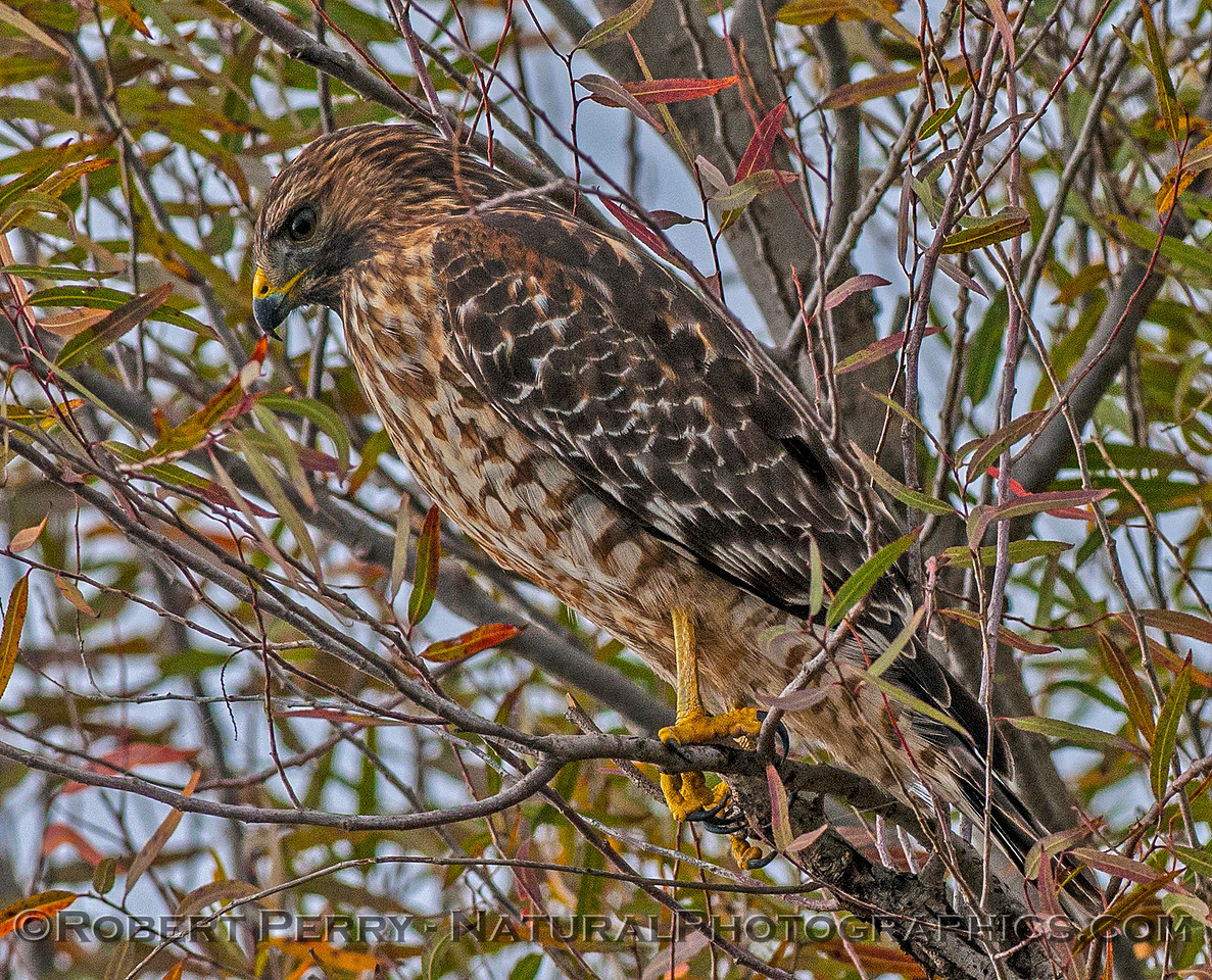 Buteo lineatus red-shouldered hawk in tree 2016 10-31 Yolo Bypass -b- 074