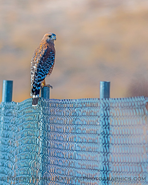 Buteo lineatus on fence 2019 10-15 EDH--002