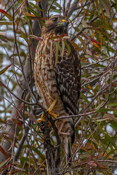 Buteo lineatus red-shouldered hawk in tree VERTICAL 2016 10-31 Yolo Bypass -b- 101