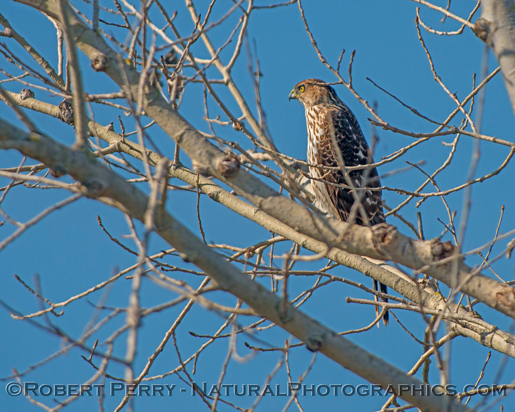 Buteo lineatus JUV in tree 2018 02-03 Yolo ByPass--008