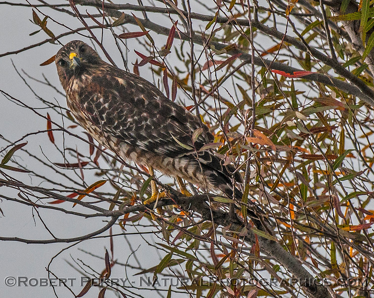 Buteo lineatus red-shouldered hawk perched in tree 2016 10-31 Yolo Bypass - 004