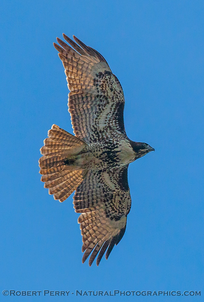 Buteo jamaicensis red-tailed hawk VERTICAL 2016 10-22 Cosumnes Preserve - 073