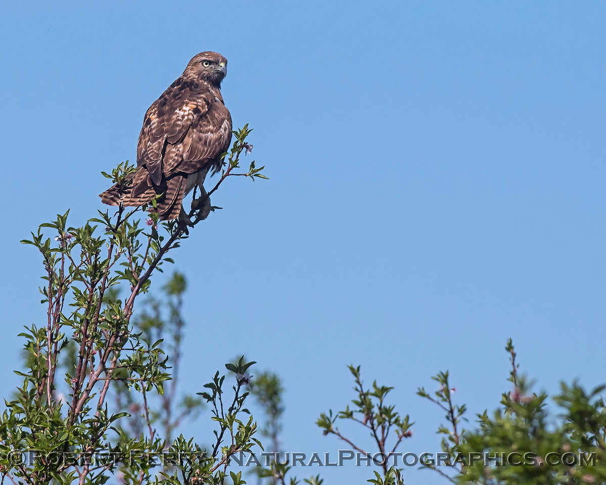 Buteo jamaicensis perched on bush 2018 03-19 Yolo--0006