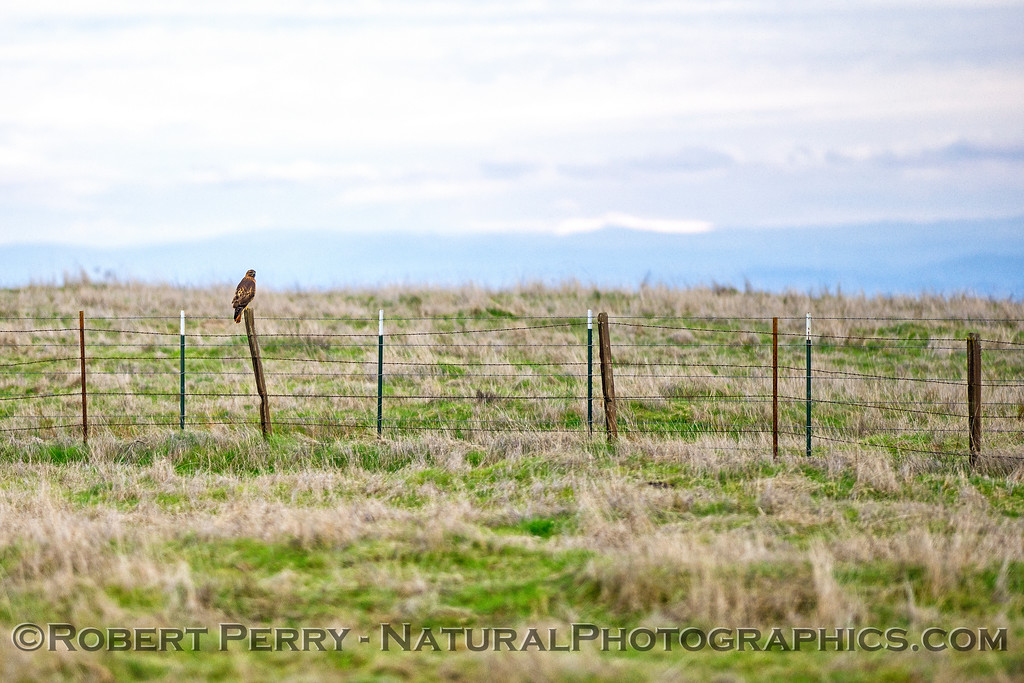Buteo jamaicensis on fence post distant 2018 01-21 Meiss Rd--006