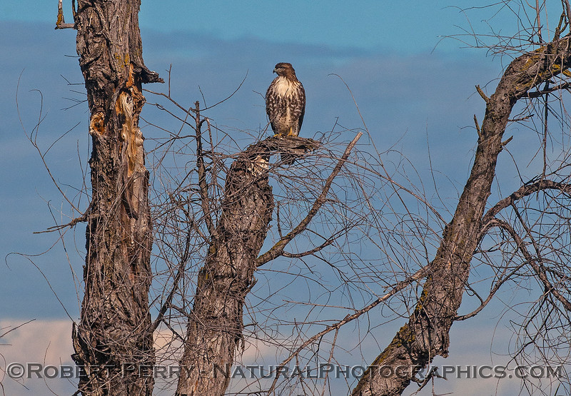 Buteo jamacensis on tree branch 2016 12-06 Sacramento NWR-012