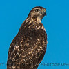 Buteo jamaicensis on gas pipe marker sign CLOSE UP 2017 12-06 Llano Seco-b-007