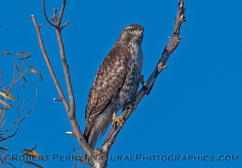 Buteo jamacensis in tree 2016 12-06 Sacramento NWR-d-023