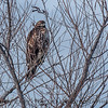possible Buteo jamaicensis JUV in tree 2017 01-06 -Sacramento NWR - 009