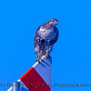 Buteo jamaicensis on gas pipe marker sign 2017 12-06 Llano Seco-005