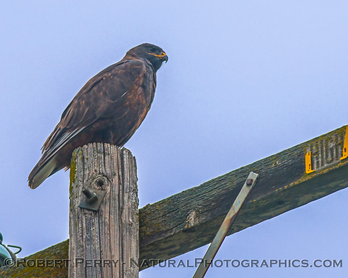 Buteo jamaicensis dark morph on telephone pole 2018 01-21 Meiss Rd--028
