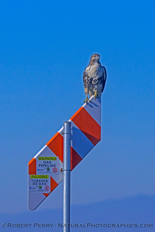Buteo jamaicensis on gas pipe marker sign 2017 12-06 Llano Seco-010