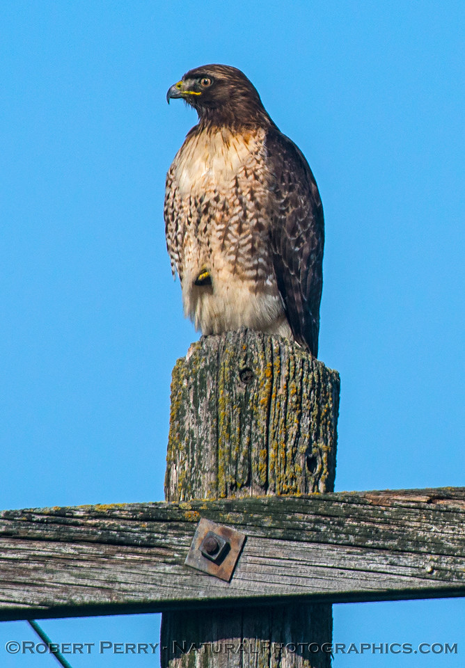 Buteo jamacensis on telephone pole 2016 12-27-Staten Island - Delta -010