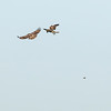 Buteo jamaicensis TWO fight over & drop rodent VERTICAL 2018 04-04 Woodland-0006