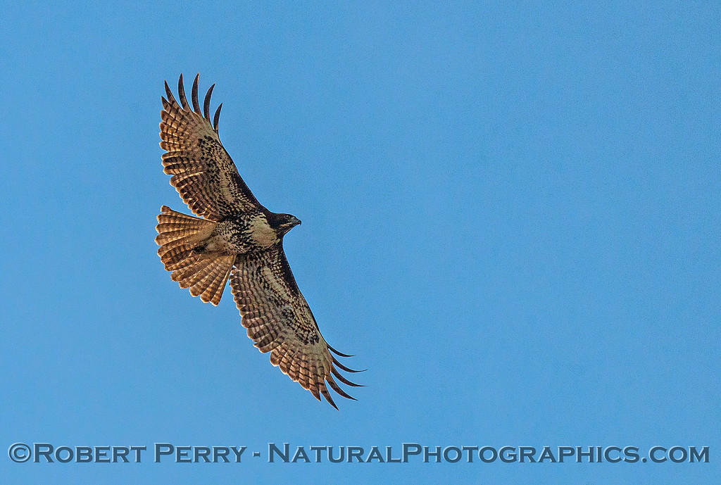 Buteo jamaicensis red-tailed hawk 2016 10-22 Cosumnes Preserve - 042