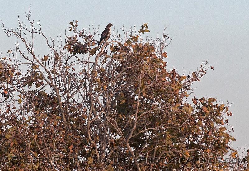 Buteo jamacensis red-tailed hawk in tree 2016 11-05 Delta GÇô Lodi--006