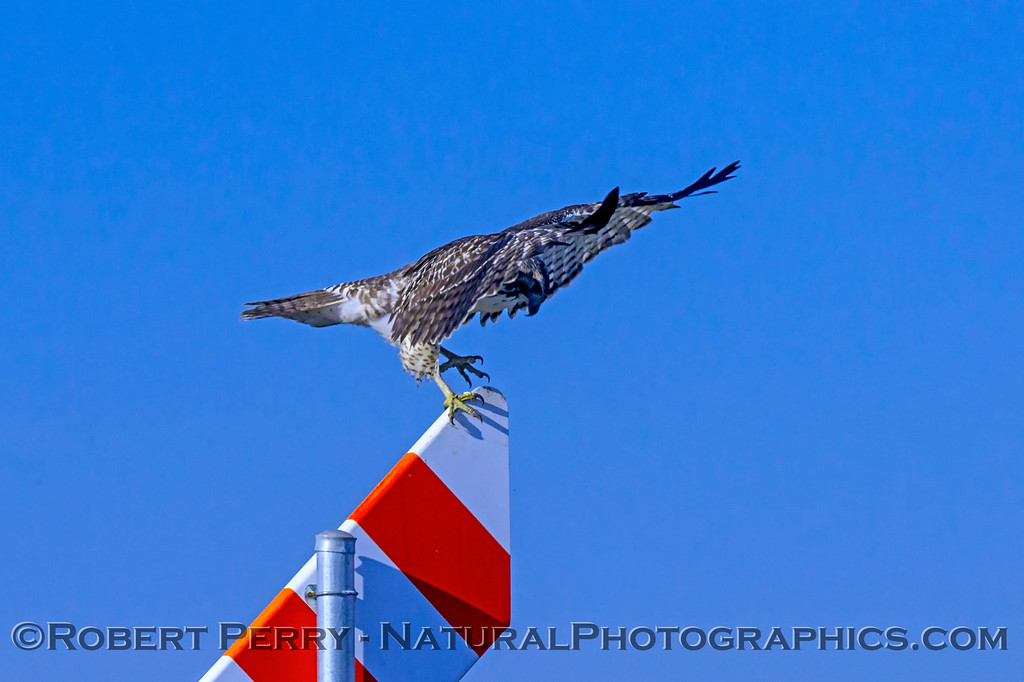 Buteo jamaicensis on gas pipe marker sign 2017 12-06 Llano Seco-029