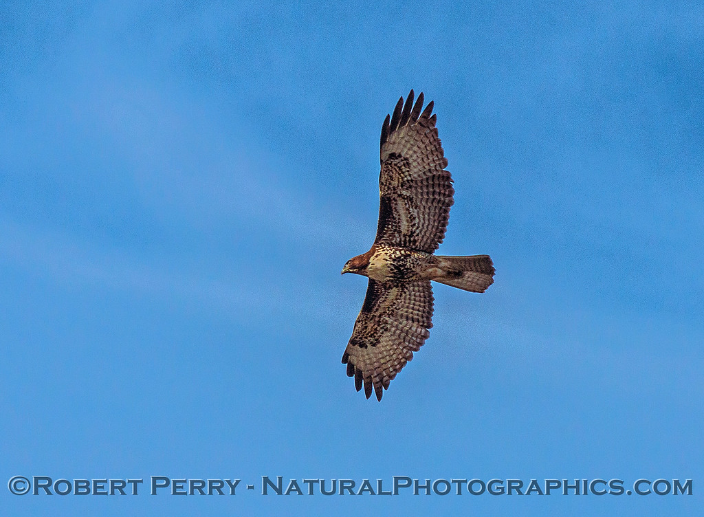 Buteo jamaicensis red-tailed hawk 2016 10-22 Cosumnes Preserve - 002