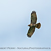 Buteo jamaicensis in flight 2018 04-04 Woodland-0028