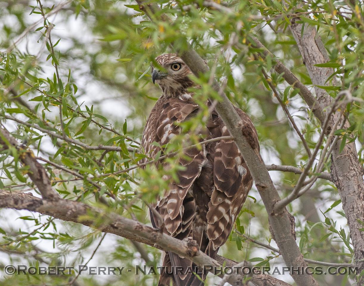 Buteo jamaicensis in tree 2017 04-05 Sacrmento NWR-010