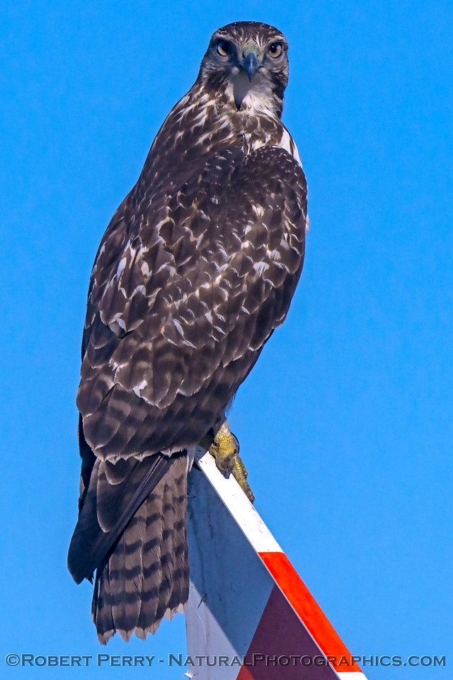 Buteo jamaicensis on gas pipe marker sign 2017 12-06 Llano Seco-b-014