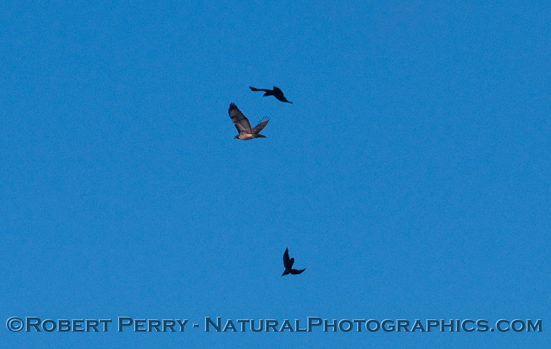 Buteo jamaicensis mobbed by Corvus brachyrnchus 2011 02-17 Zuma - 007