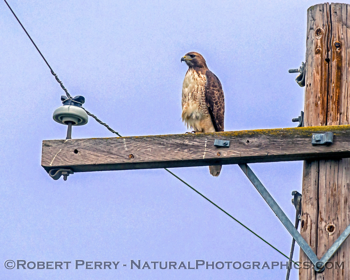 Buteo jamaicensis on telephone pole 2018 01-21 Meiss Rd--010