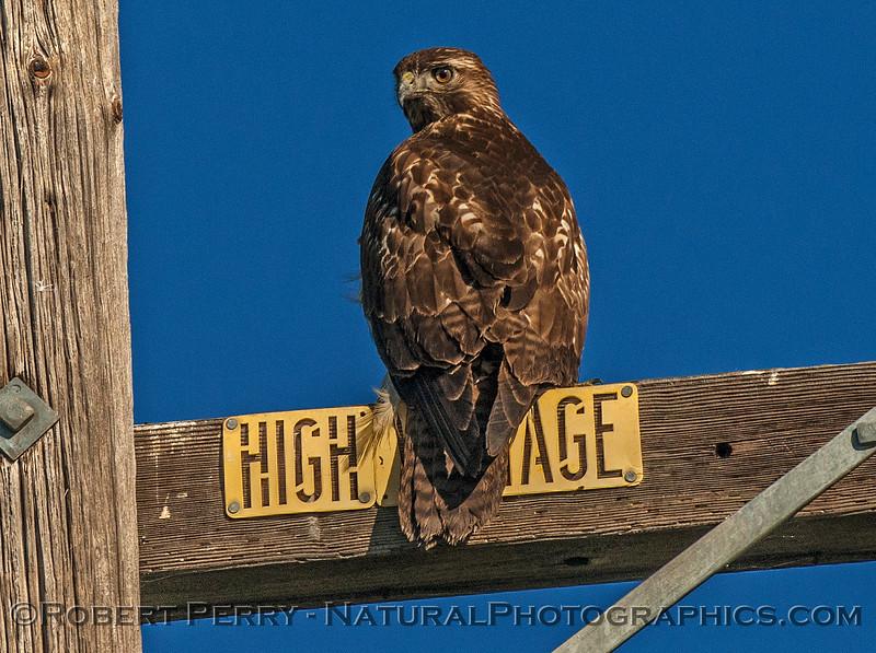 Buteo jamacensis red-tailed hawk 2016 11-13 Staten Island Calif-c-025