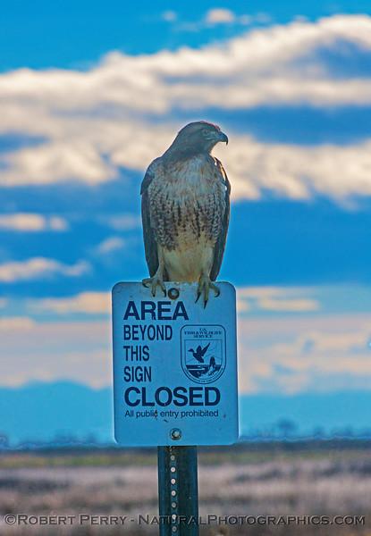 Buteo jamacensis perched on sign CLOSE 2016 12-06 Sacramento NWR-068
