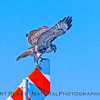 Buteo jamaicensis on gas pipe marker sign 2017 12-06 Llano Seco-030