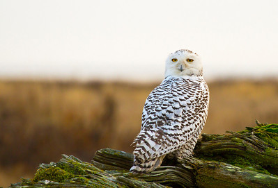 Snowy Owl - Boundary Bay (2012)