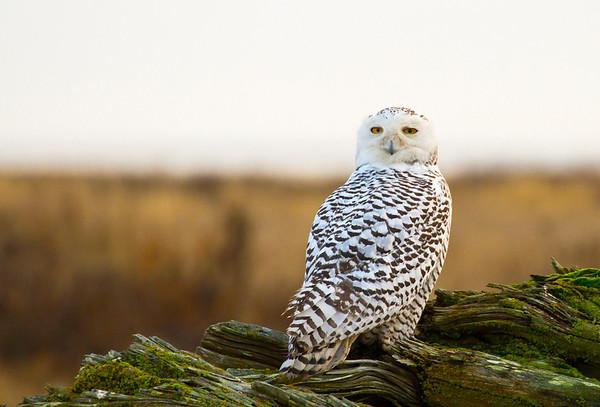 Snowy Owl - Boundary Bay (2012)