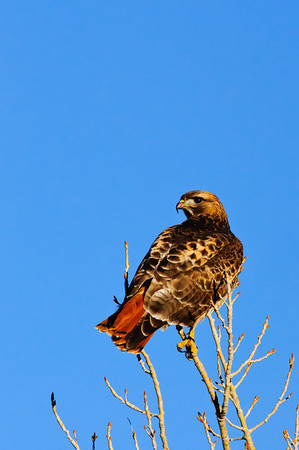 Red-tailed Hawk-4683