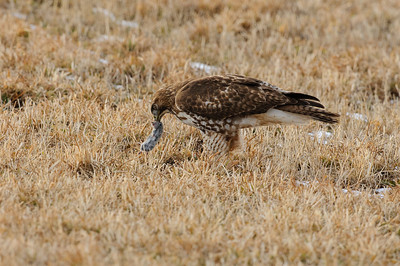 Red-tailed Hawk-0657