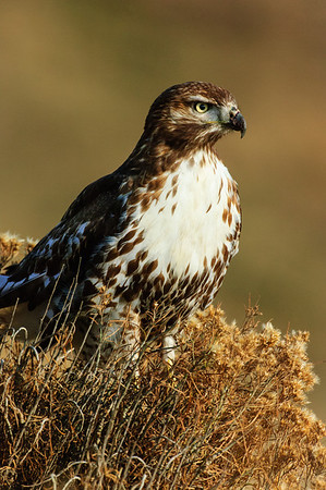 Red-tailed Hawk-169
