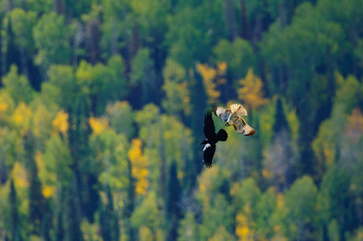 Red-tailed Hawk-106