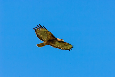 Red-tailed Hawk-131